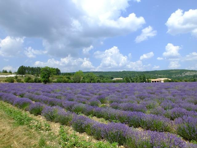 Provence france lavender.