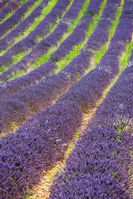 Provence lavender violet.