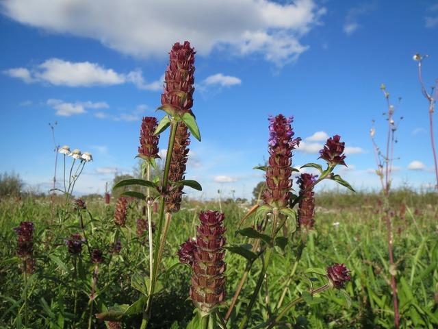 Prunella vulgaris common self-heal heal-all, nature landscapes.