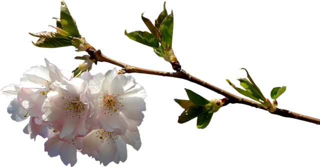 Prunus branch png, nature landscapes.
