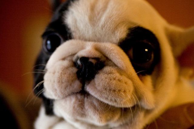 Pug dog purebred, animals.