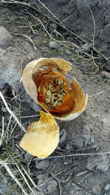 Pumpkin rotten dried vegetables.
