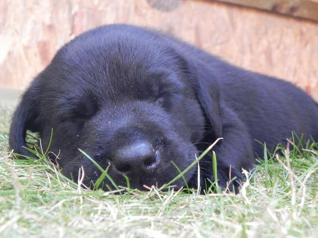 Puppy black labrador, animals.