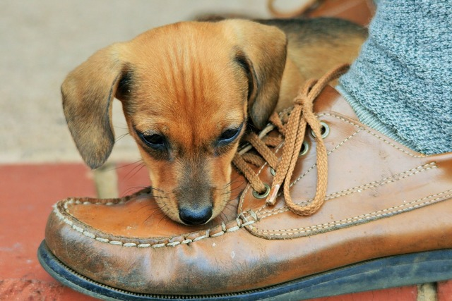 Puppy brown shoe, animals.