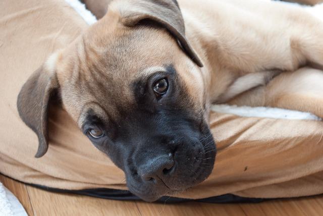 Puppy dog mastiff, animals.