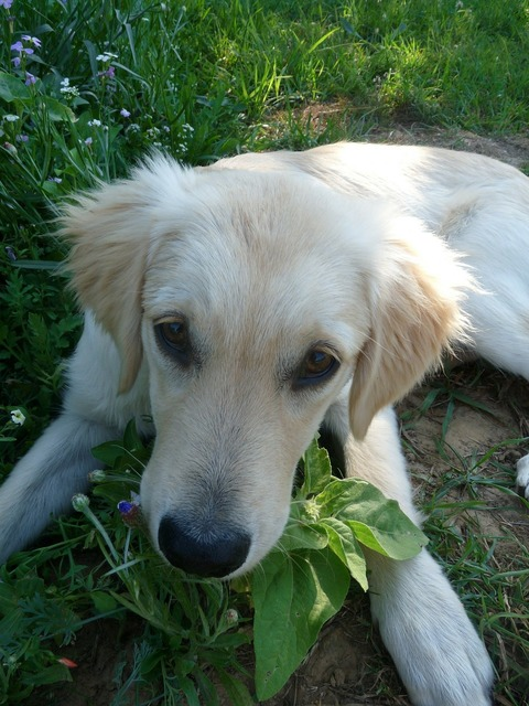 Puppy golden retriever, animals.