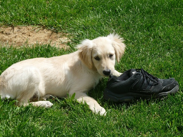 Puppy shoe playing, animals.