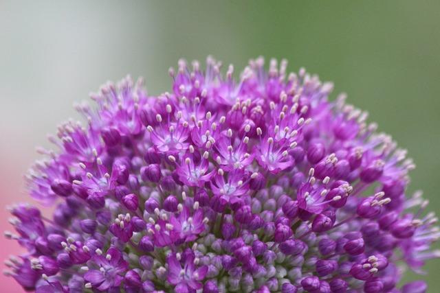 Purple onion plant, nature landscapes.