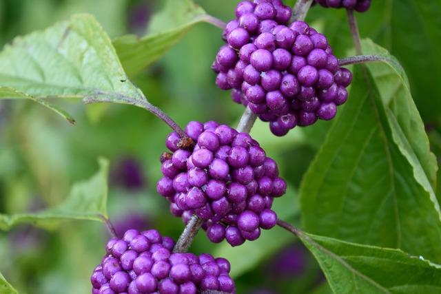 Purple plant beauty berry, nature landscapes.