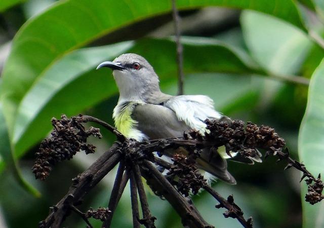 Purple-rumped sunbird leptocoma zeylonica sunbird, animals.