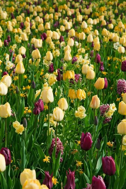 Purple yellow tulips, backgrounds textures.