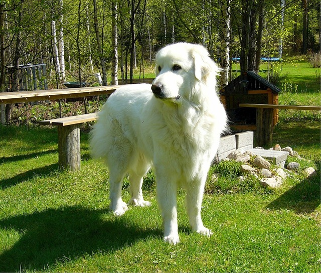 Pyrenean mountain dog great pyrenees canine, animals.