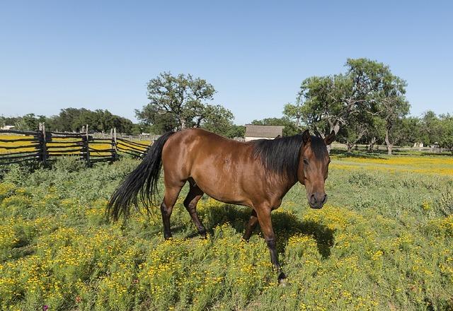 Quarter horse ranch agriculture, animals.