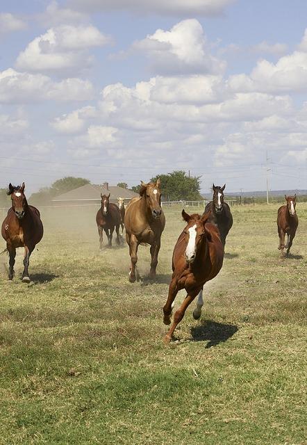 Quarter horses ranch agriculture, animals.