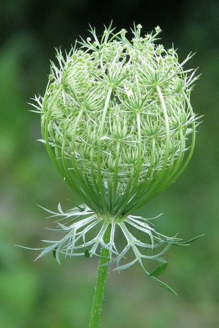 Queen anne's lace wild carrot daucus carota.
