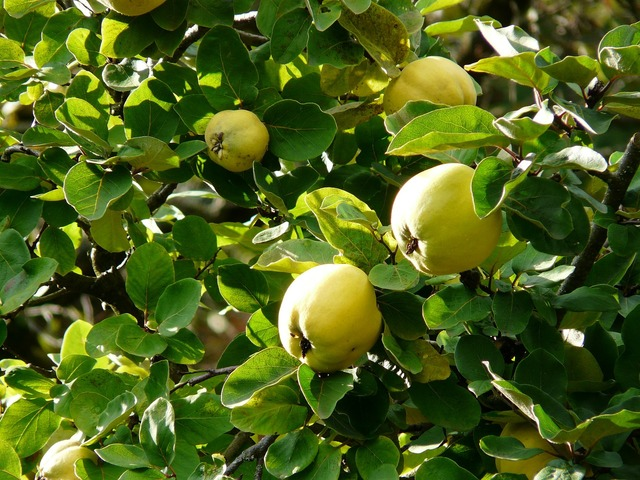 Quince fruit cydonia oblonga, food drink.