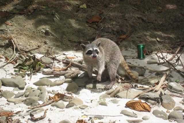 Raccoon beach costa rica, travel vacation.