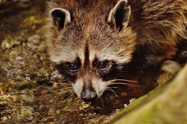 Raccoon wild animal water, food drink.