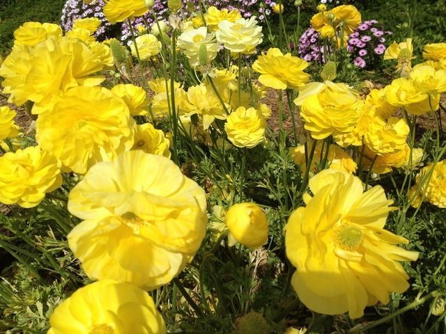 Ranunculus flowers nature, nature landscapes.