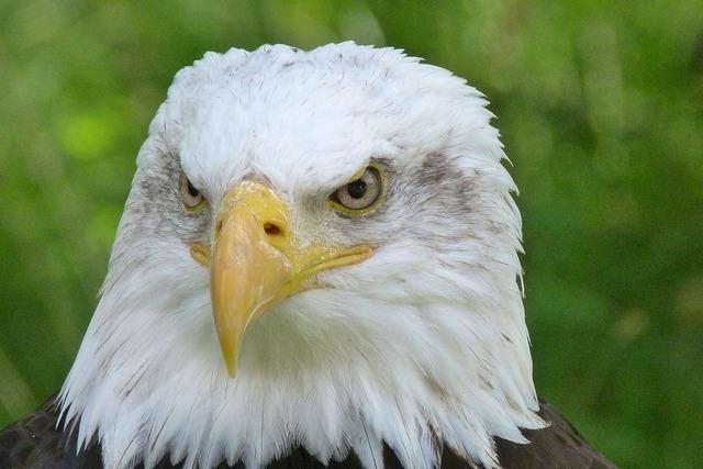 Raptor adler bald eagles, animals.