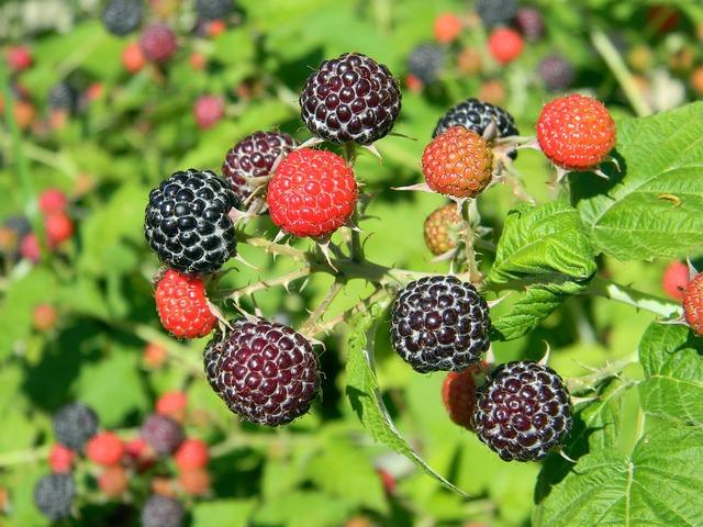 Raspberry black raspberry ripe raspberry.