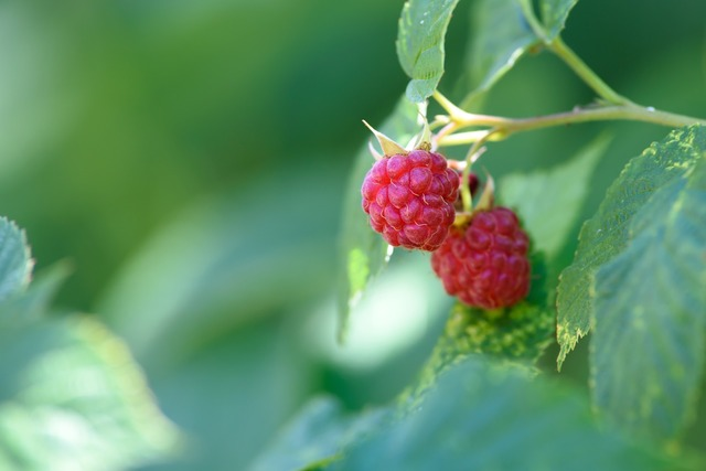 Raspberry garden garden fruit, food drink.