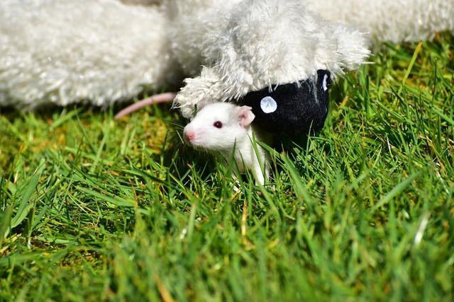 Rat baby rats needy, animals.