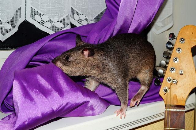 Rat gambian rat giant hamster rat, animals.