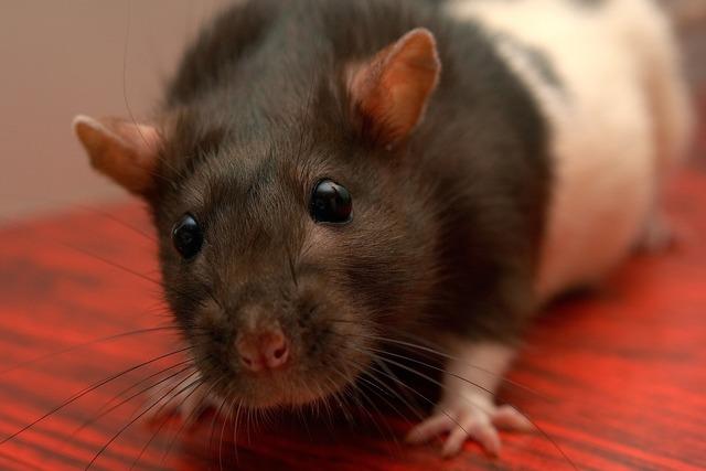 Rat homemade životnoekrysa pet, animals.