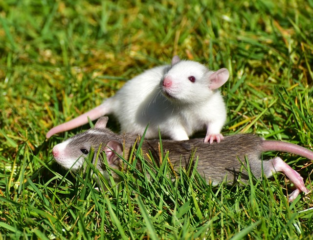 Rat rat babies needy, animals.