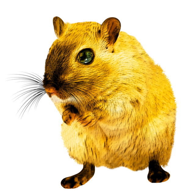 Rat rodent png, animals.