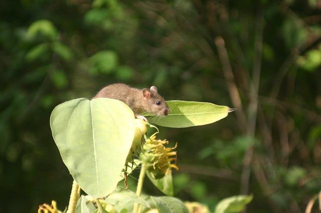 Rat sun flower garden.