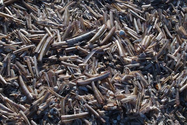 Razor shells shells beach, travel vacation.