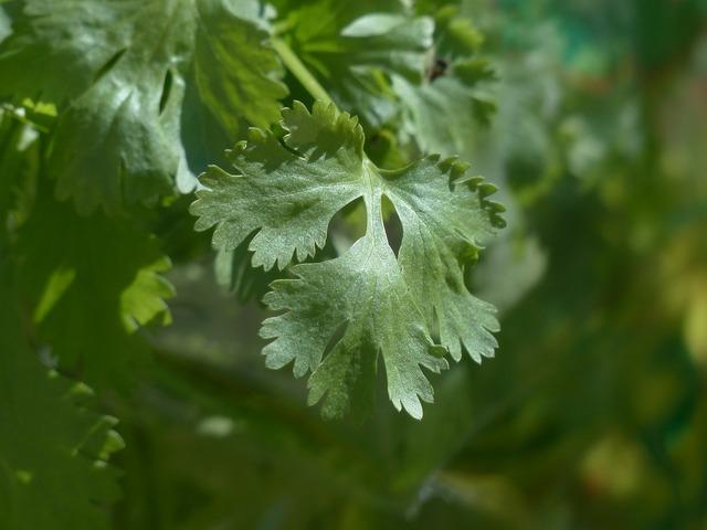 Real coriander coriander kitchen herb, nature landscapes.