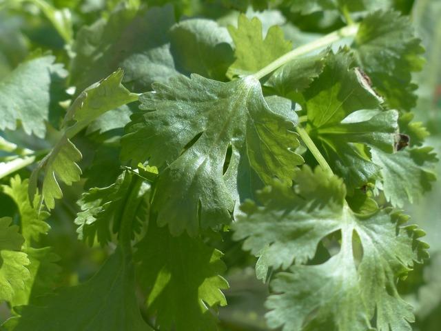 Real coriander kitchen herb coriander, nature landscapes.