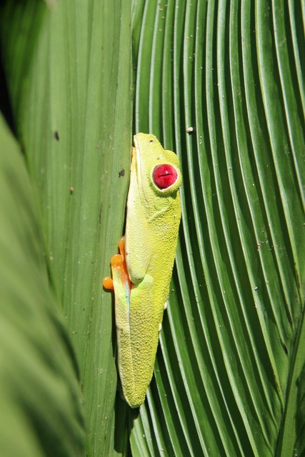 Red-eyed tree frog frog costa rica.