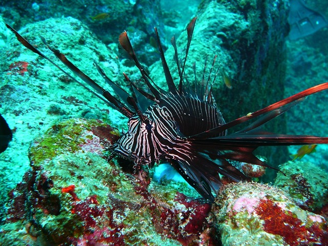 Red fire fish lionfish black fire fish.