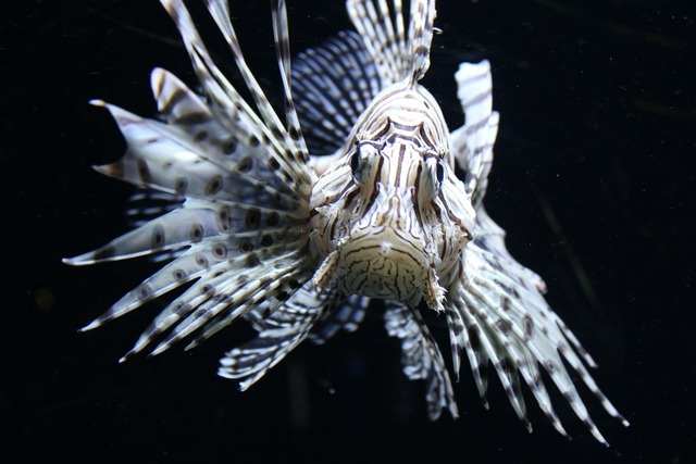 Red fire fish lionfish fish.