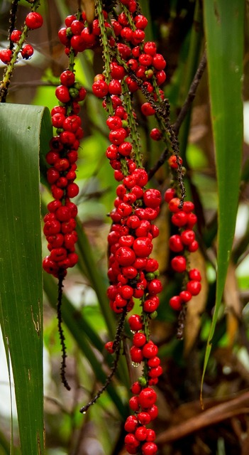 Red fruited palm lily cordyline rubra plant, nature landscapes.
