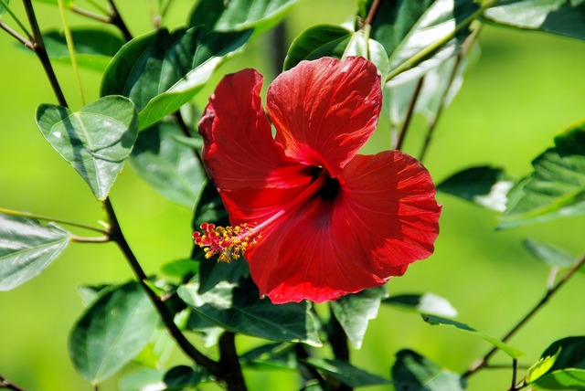 Red hibiscus exotic flower botany, nature landscapes.