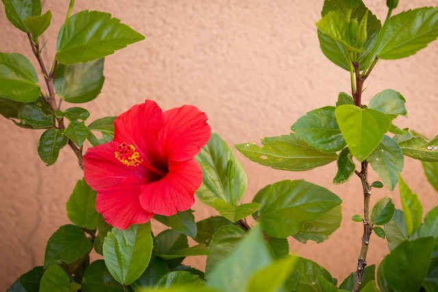 Red hibiscus plant, nature landscapes.