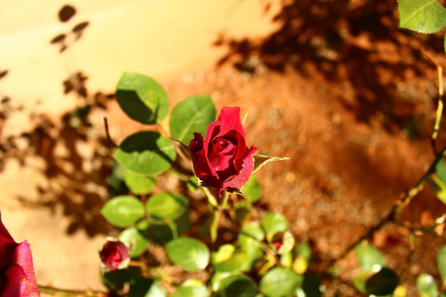 Red rose above stone.