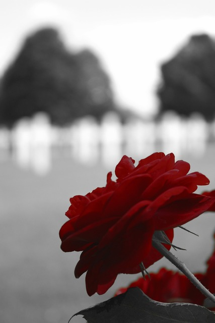 Red rose black, places monuments.