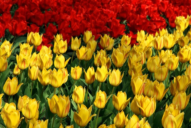 Red yellow tulips, backgrounds textures.