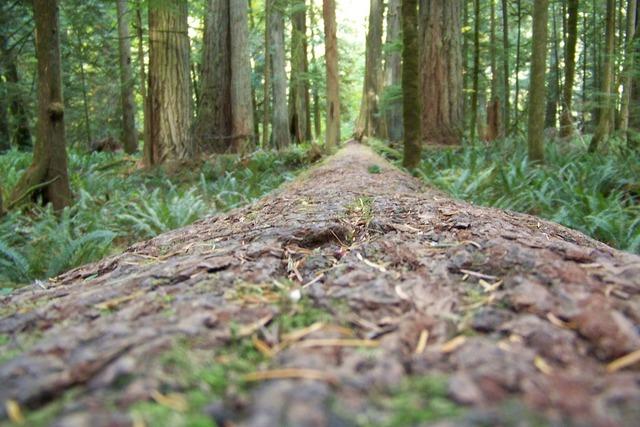 Redwoods trees forest, nature landscapes.