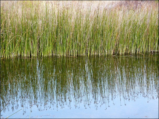 Reeds pond reflections.