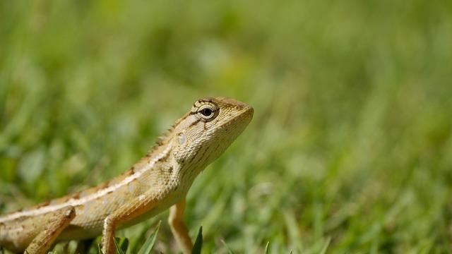 Reptile thailand iguana.