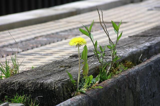 Resistant dandelion plant, nature landscapes.