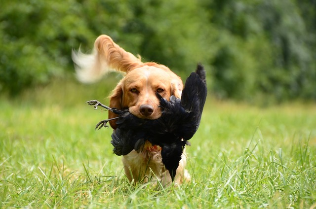 Retrieve dog german quail, animals.