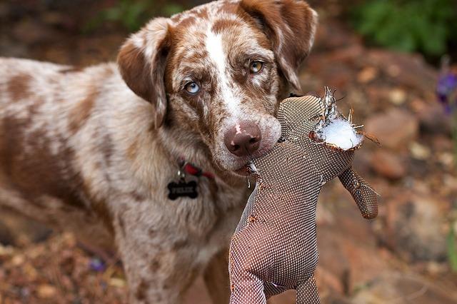 Retriever dog canine, animals.